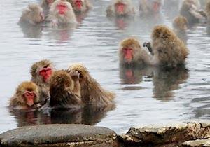 地獄谷温泉でくつろぐ野生のニホンザル